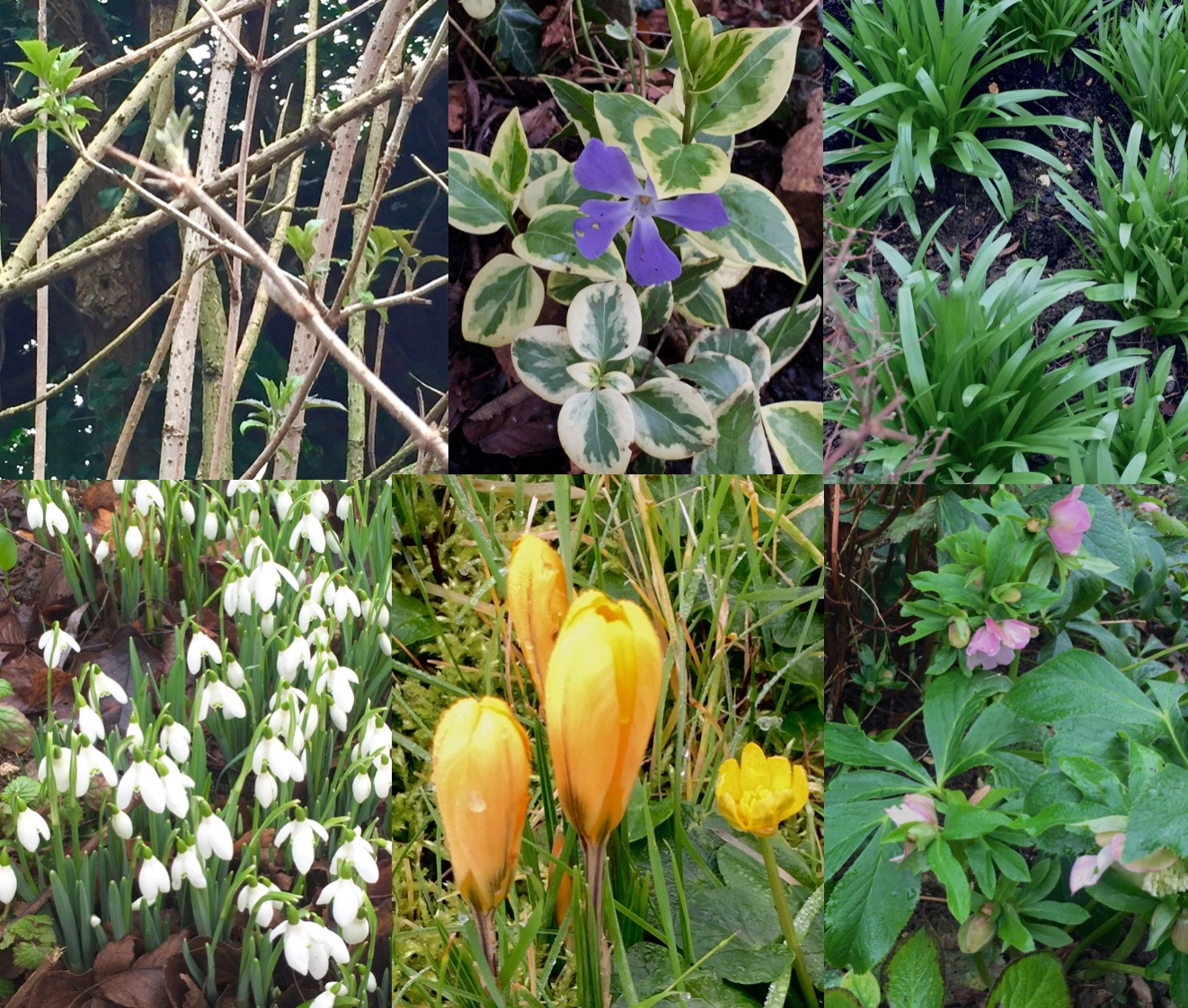 The glorious colours of a very early Spring (clockwise, from top left), elder, periwinkle, bluebells, snowdrops, crocuses and buttercup, hellebores