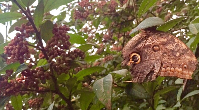 Appearance of a beautiful Giant Owl Butterfly
