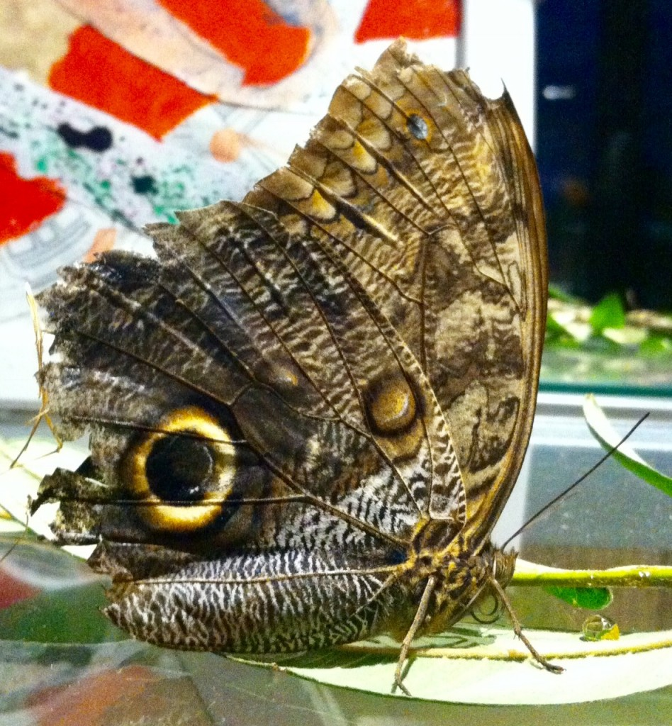Our Giant Owl Butterfly